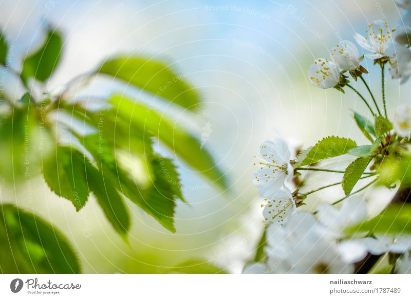 cherry blossoms Nature Sky Spring Beautiful weather Plant Tree Flower Leaf Blossom Foliage plant Agricultural crop Branch Park Blossoming Fragrance Jump Near