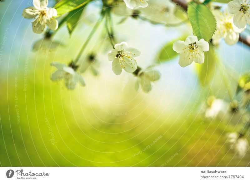 spring Environment Nature Plant Spring Beautiful weather Tree Flower Leaf Blossom Agricultural crop Cherry Cherry blossom Cherry tree Garden Park Jump Fragrance