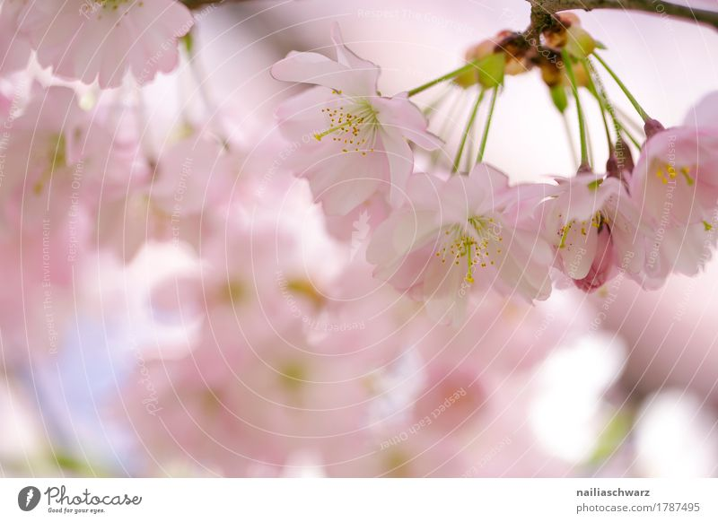 Cherry blossoms in spring Environment Nature Plant Spring Summer Tree Blossom Agricultural crop Cherry tree Garden Park Blossoming Fragrance Jump Elegant Fresh