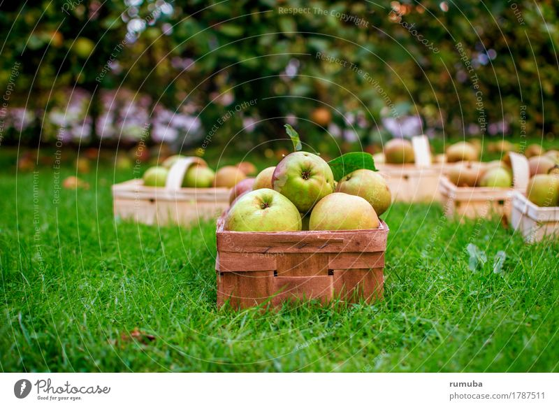 Nature Green Yellow Meadow Healthy Fresh Lawn Organic produce Harvest Apple Mature Juicy Patient Basket Pick
