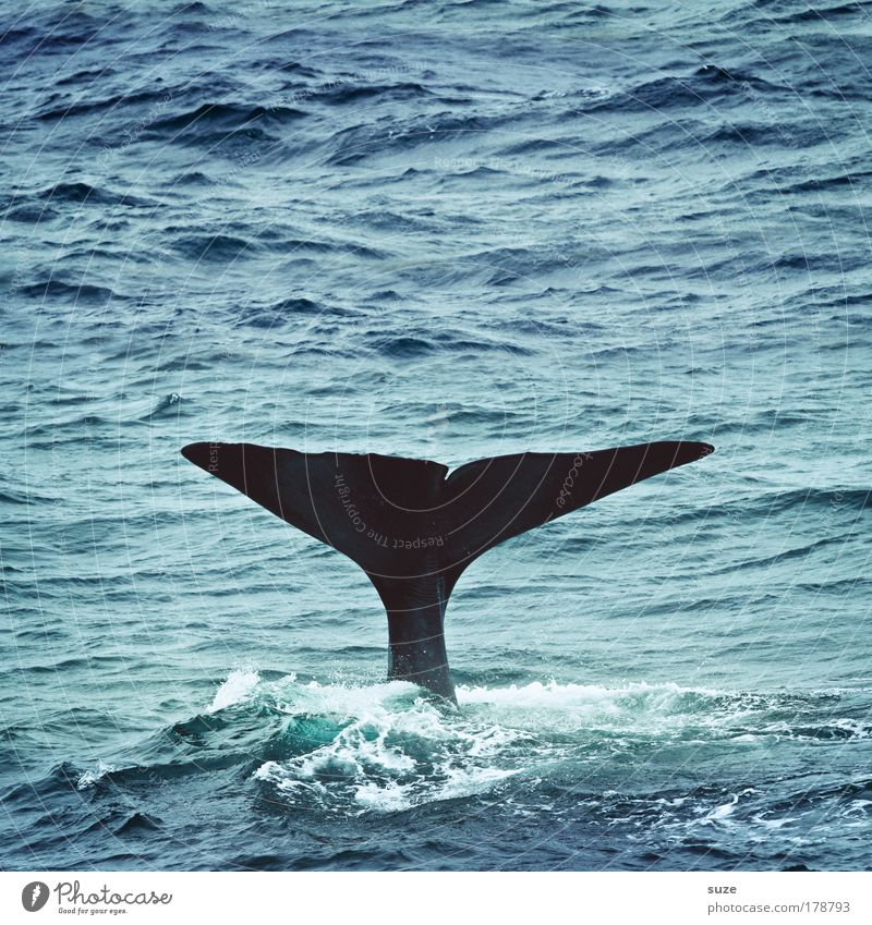 moby thick Environment Nature Plant Animal Climate Waves Ocean Wild animal Whale Sperm whale Fin Tail fluke 1 Dive Exceptional Blue Freedom Future