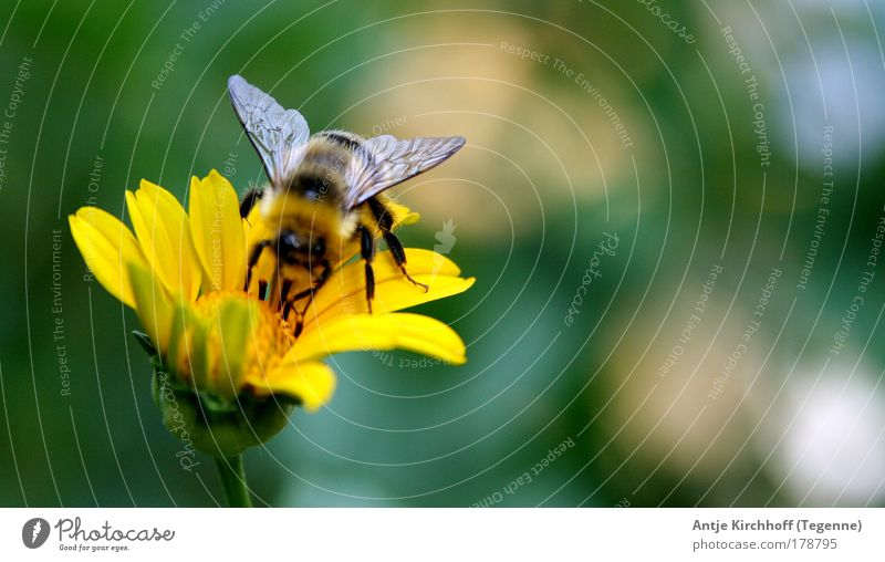 Nature Flower Green Plant Summer Animal Yellow Blossom Spring Landscape Flying 1 Wing Infinity Blossoming Bee