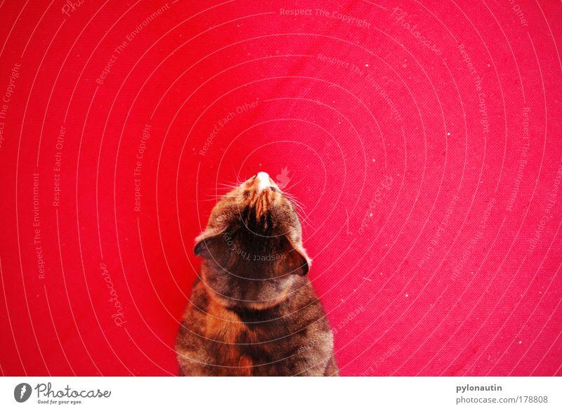 Red Animal Cat Ear Pelt Pet Carpet Domestic cat Whisker Meow