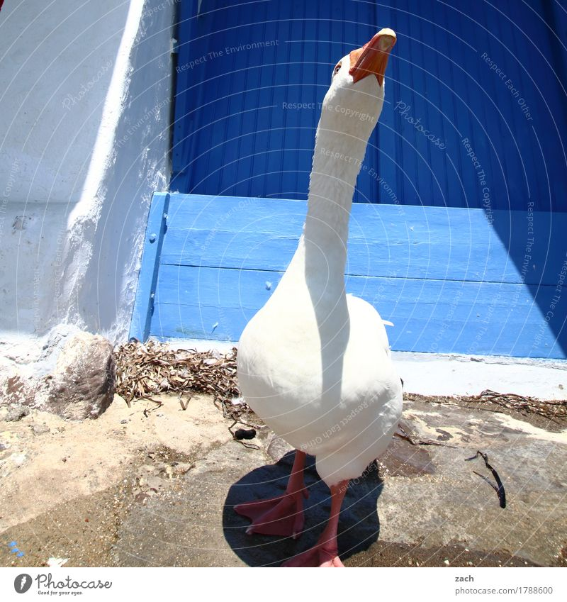 Goose nice and stuck-up Poultry House (Residential Structure) Wall (barrier) Wall (building) Facade Animal Farm animal Bird 1 Feeding Brash Cute Wild Blue White