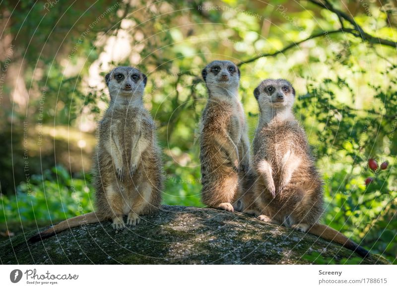 The three from the lookout... Vacation & Travel Tourism Trip Nature Plant Animal Summer Tree Bushes Meerkat 3 Observe Looking Attentive Watchfulness Curiosity