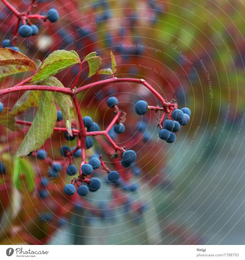 Nature Plant Blue Green Red Leaf Environment Life Autumn Natural Small Garden Gray Growth Esthetic Authentic