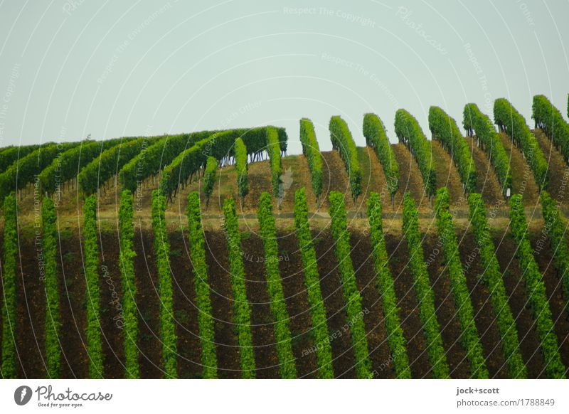 unnatural green lines of a vineyard Manmade landscape Sky Climate Agricultural crop Vineyard Line Growth Authentic Tall Long Above Green Conscientiously
