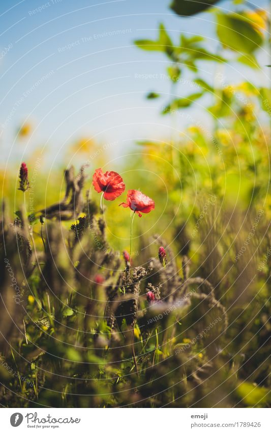 Nature Plant Summer Flower Red Environment Natural Beautiful weather Poppy