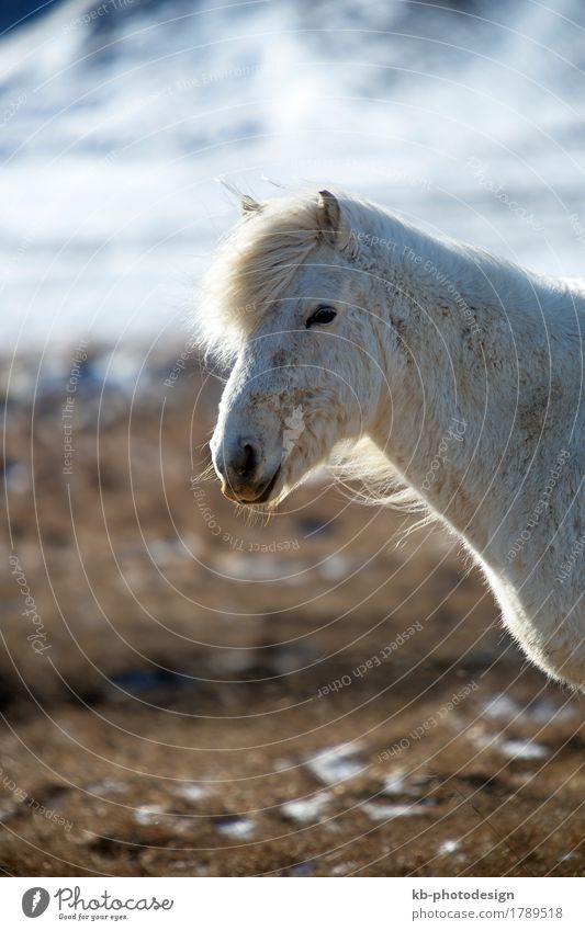 Portrait of a white Icelandic horse Vacation & Travel Trip Adventure Far-off places Winter Wind Horse 1 Animal Iceland pony Iceland ponies Icelander snow