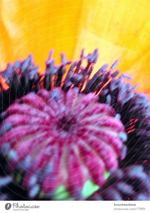 poppy Flower Blossom Detail Nature Orange Close-up