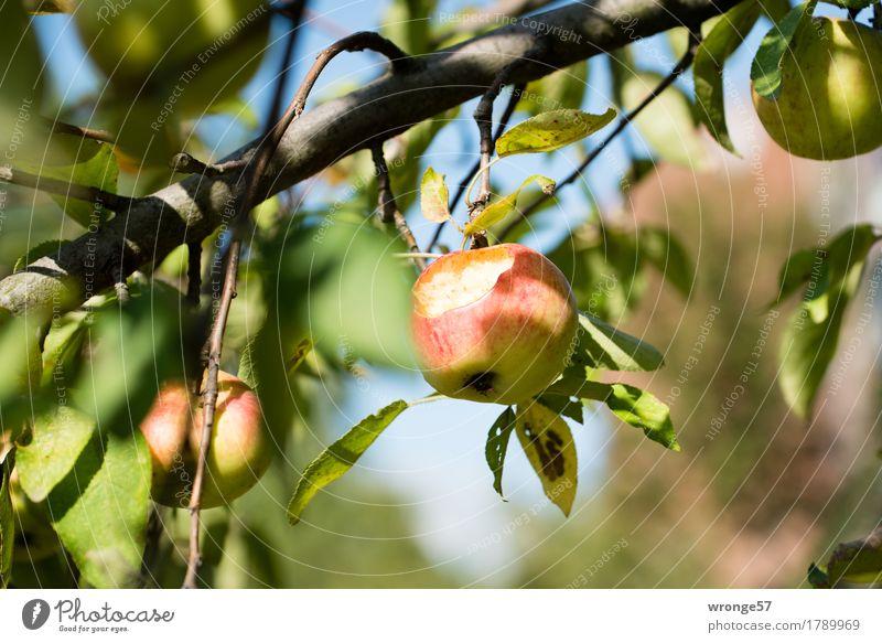 bio apple Fruit Apple Tree Agricultural crop Apple tree Fruittree meadow Fresh Healthy Juicy Sweet Brown Multicoloured Yellow Green Red Mature Eroded