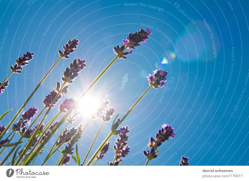bye summer Macro (Extreme close-up) Copy Space right Copy Space top Sunbeam Back-light Cloudless sky Summer Beautiful weather Blossom Fragrance Blue Lavender