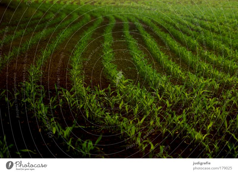 acre Colour photo Exterior shot Day Food Plant Agricultural crop Field Growth Dark Green Arrangement Agriculture Maize Country life Row Swing Curve Harvest
