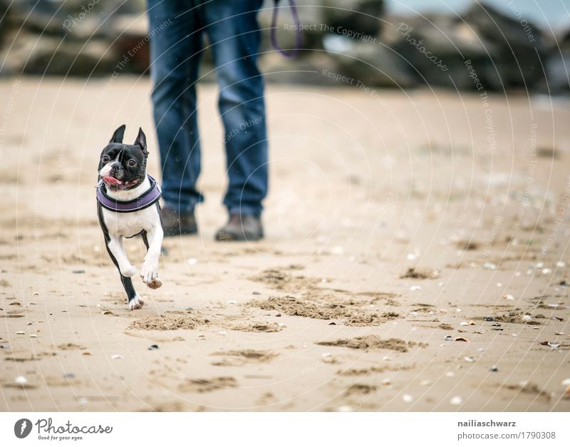 Boston Terrier on the beach Joy Beach Body Legs Sand Coast Lakeside Animal Pet Animal face 1 Swimming & Bathing Relaxation To enjoy Walking Running Playing Jump