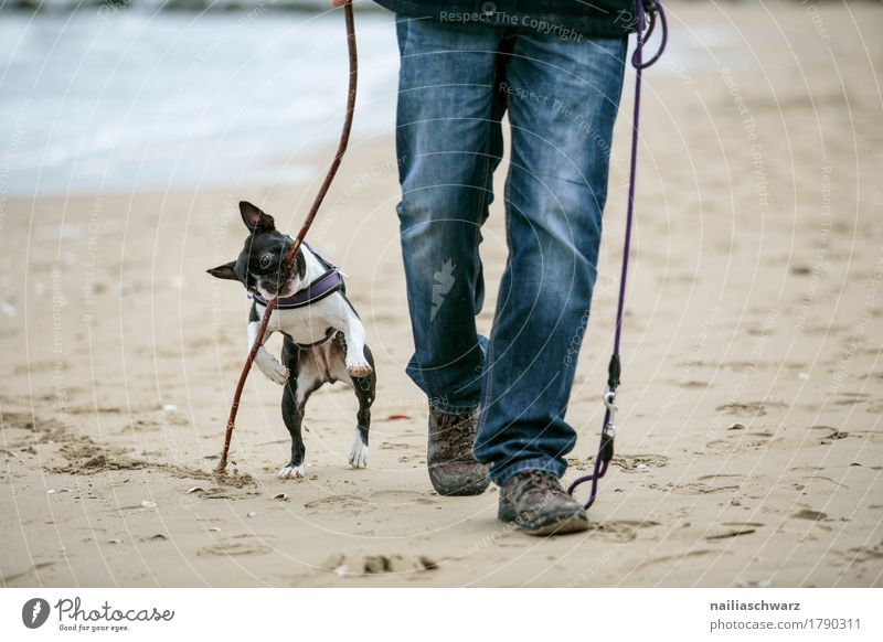 Boston Terrier plays on the beach Joy Beach Human being Man Adults Legs 1 Sand Jeans Footwear Animal Dog Vacation & Travel Playing Jump Hiking Friendliness