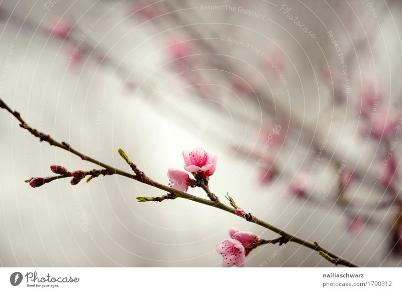 Cherry tree in spring Environment Nature Plant Spring Tree Flower Blossom Agricultural crop Blossoming Fragrance Jump Growth Natural Brown Pink Moody