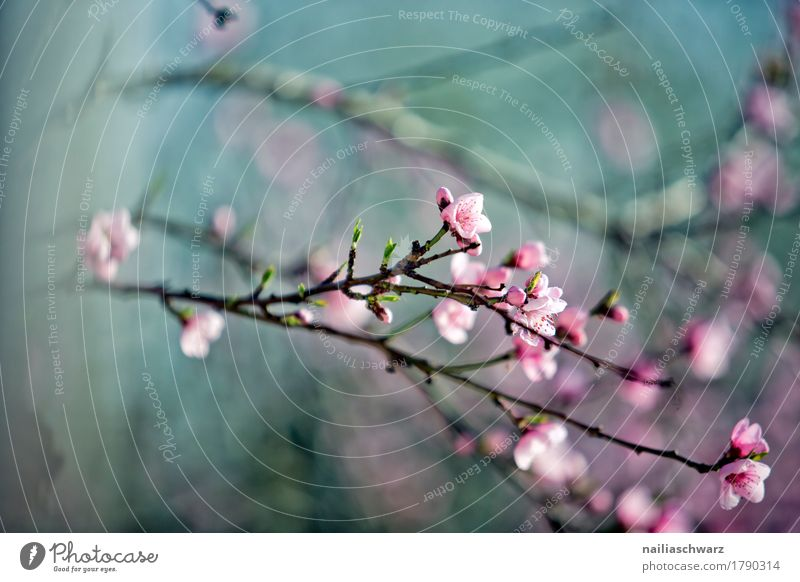 Cherry tree in spring Nature Plant Spring Tree Blossom Agricultural crop Fruit trees Twig Branch Garden Park Meadow Blossoming Fragrance Jump Growth Simple