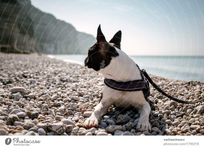 Boston Terrier on the beach Vacation & Travel Beach Environment Nature Sand Horizon Beautiful weather Coast Lakeside Bay Ocean Atlantic Ocean Animal Pet Dog