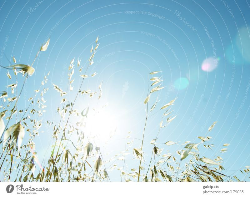 Nature White Blue Plant Summer Meadow Grass Happy Warmth Landscape Air Bright Field Environment Gold Harvest
