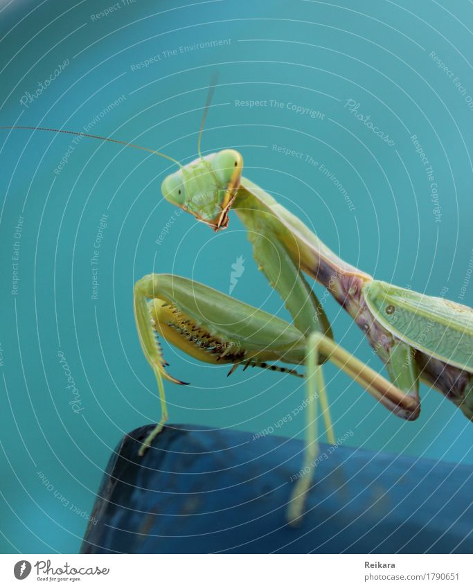 View of the praying mantis Animal Wild animal Animal face Praying mantis Insect Observe Touch Movement Crawl Athletic Exceptional Threat Elegant Success Exotic
