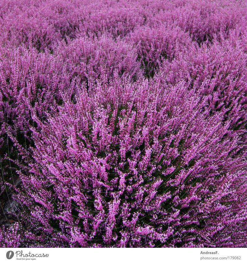 heathland Colour photo Exterior shot Detail Environment Nature Plant Flower Grass Foliage plant Violet Pink Heathland Heather family heather blossom Autumn