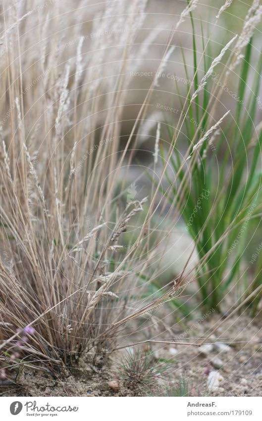 grass whispering Colour photo Exterior shot Detail Environment Nature Plant Earth Sand Drought Grass Foliage plant Garden Meadow Field Dry Grass blossom