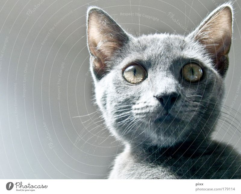 The Grey Colour photo Interior shot Copy Space left Day Animal portrait Elegant Zoo Environment Nature Gray-haired Pet Cat 1 Baby animal Feeding Looking