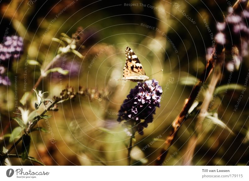 Sweet Butterfly Colour photo Copy Space left Copy Space right Day Sunlight Animal portrait Nature Landscape Summer Plant Wing 1 Flying Yellow Green Violet
