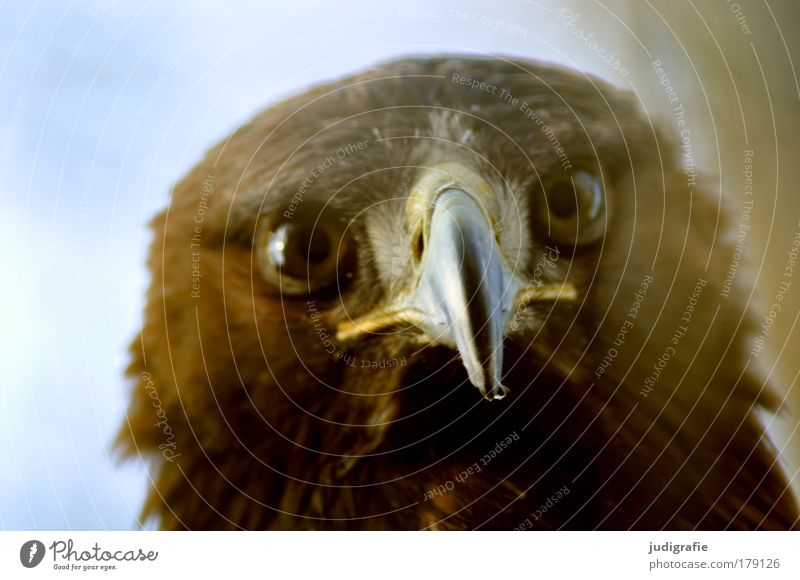 robber Colour photo Exterior shot Day Animal portrait Looking Looking into the camera Wild animal Bird Animal face 1 Natural Curiosity Contact steppe eagle Beak