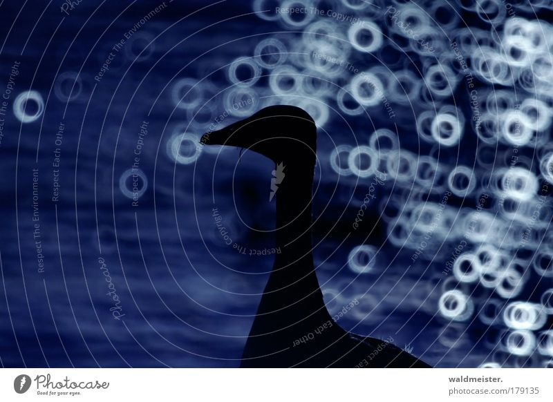 Blue Calm Animal Contentment Elegant Esthetic Goose Wild animal Blur Objective Safety (feeling of) Love of animals Gray lag goose Catadioptric system (effect)