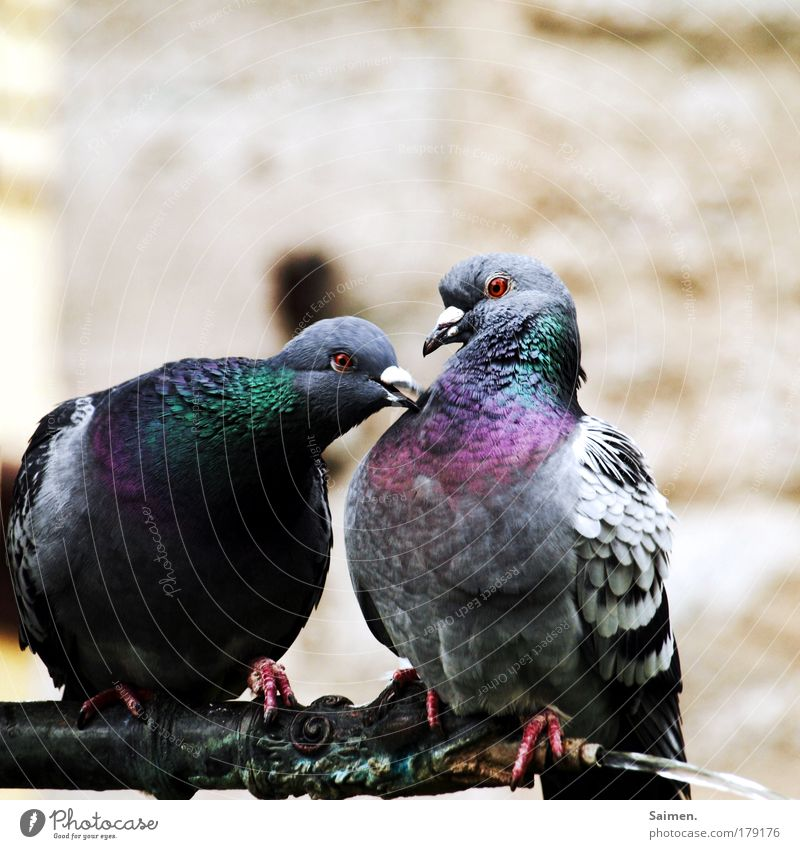 Beautiful Animal Love Life Emotions Contentment Bird Glittering Romance Communicate Curiosity Animal face Passion To enjoy Pigeon Desire