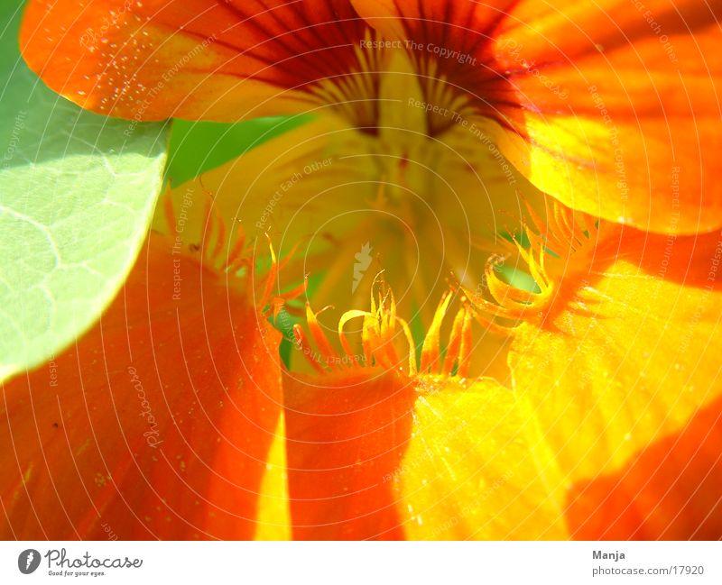 Capuchin Flower Blossom Green Orange Sun