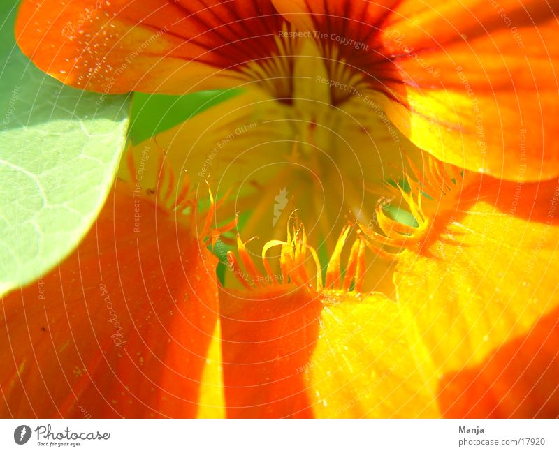 Sun Flower Green Blossom Orange