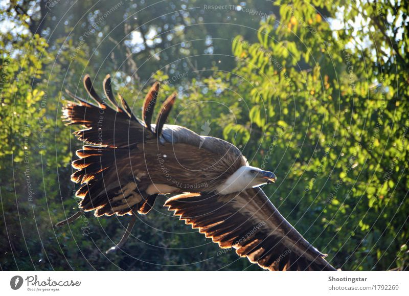 Vultures approaching Animal Wild animal Bird 1 Flying Hunting Esthetic Fresh Brown Joie de vivre (Vitality) Power Beginning Speed Beautiful Colour photo