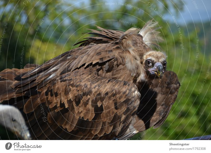 Vulture 3 Nature Animal Wild animal Bird 2 Brown Appetite Colour photo Exterior shot Animal portrait Looking Looking into the camera