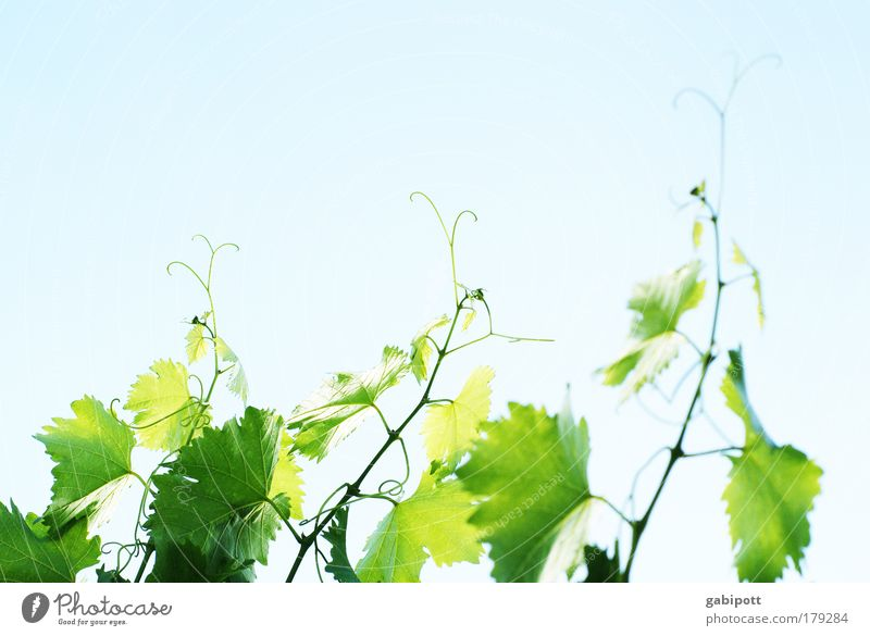 New wine Colour photo Subdued colour Exterior shot Deserted Copy Space top Day Light Sunlight Sunbeam Nature Plant Air Sky Leaf Agricultural crop Vine Vine leaf