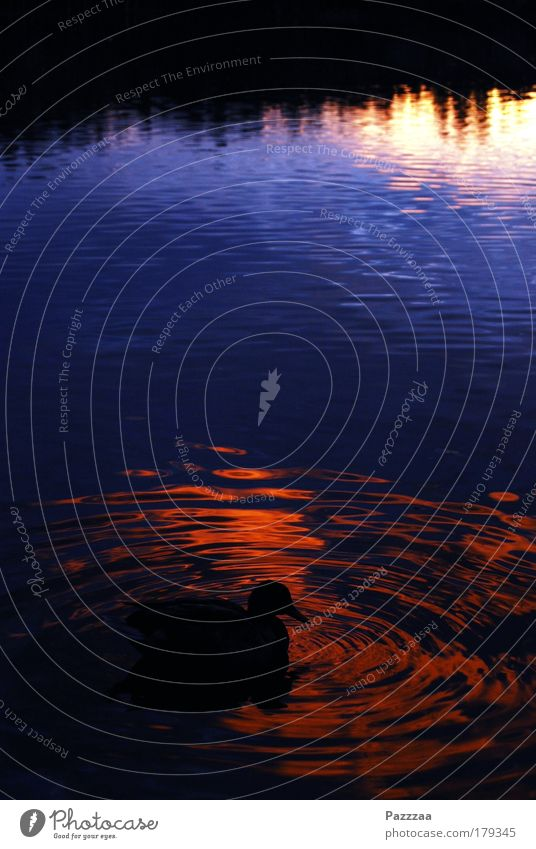 Water Calm Lake Dream Bird Waves Duck
