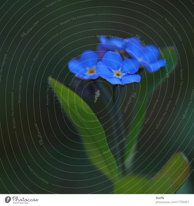 little flowers Nature Plant Spring Flower Blossom Wild plant Forget-me-not Blossom leave Garden plants Blossoming Dark Beautiful Blue Green Blue-green