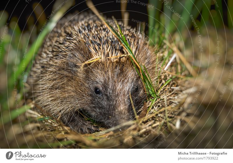 Young hedgehog Nature Animal Plant Grass Meadow Wild animal Animal face Claw Paw Hedgehog Spine 1 Baby animal Observe Looking Small Near Natural Cute Point