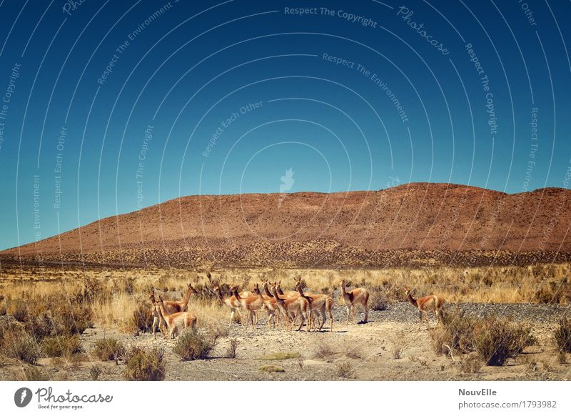 On the road in Argentina Llama Desert Pampa Animal Herd South America