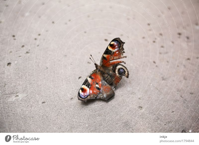Old butterfly Wild animal Butterfly Wing Peacock butterfly 1 Animal Crouch Broken Small Emotions Pain Nature Decline Transience Compassion Bright background
