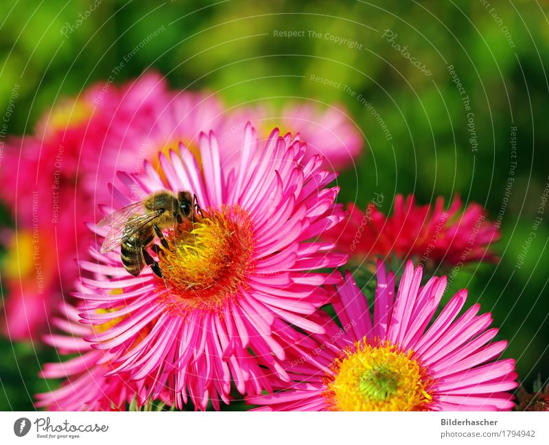 Bee on pink aster Honey bee Aster Brilliant Insect Flying insect Blossom Flower Autumn leaves Flowering plants Daisy Family Pink Blossom leave Pollen Nectar
