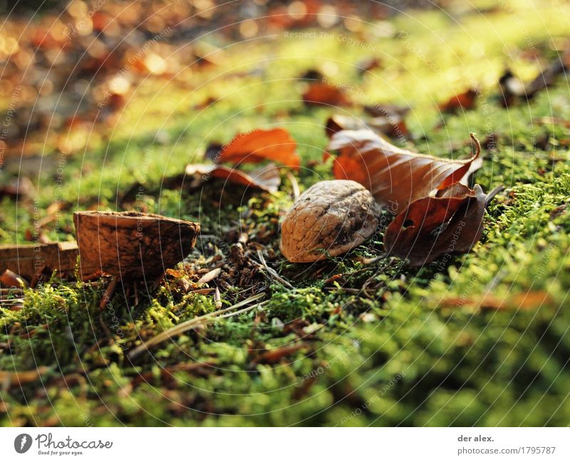 nut Environment Nature Plant Earth Sunlight Autumn Climate Grass Moss Leaf Wild plant Walnut Forest Illuminate Dirty Healthy Glittering Soft Brown Yellow Gold