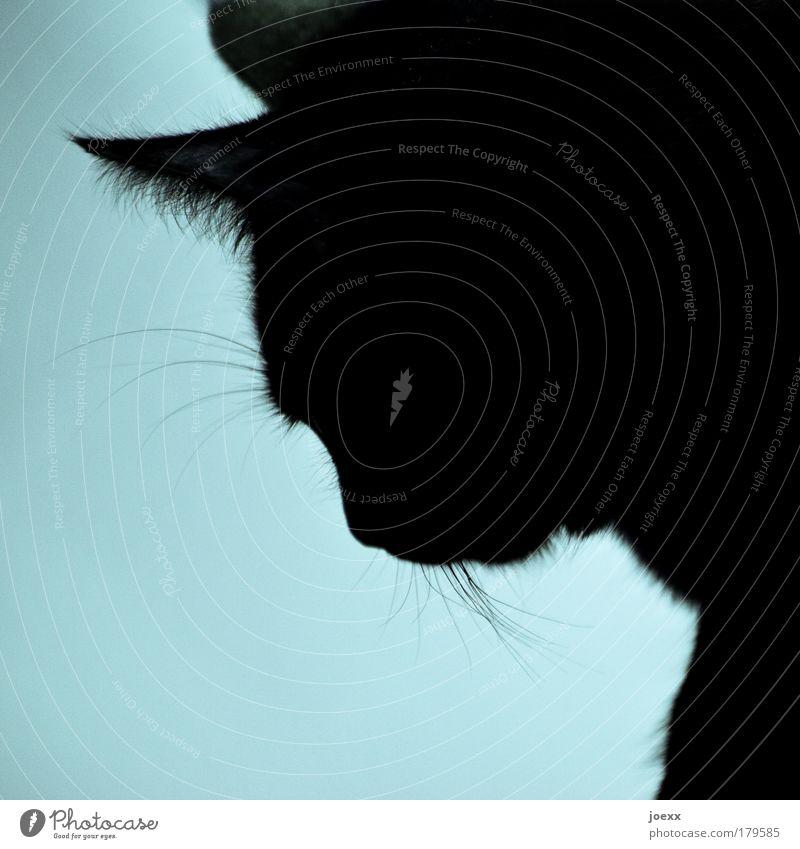 Beautiful Blue Calm Animal Cat Serene Pet Patient Love of animals