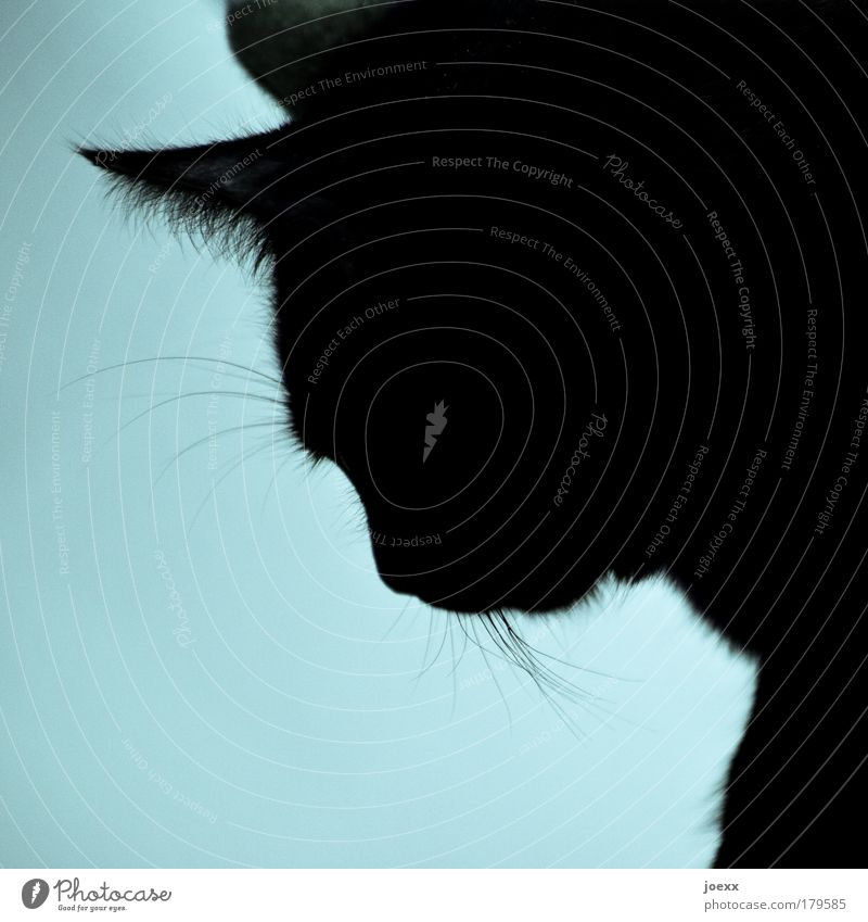 Did I... Colour photo Interior shot Copy Space bottom Light Silhouette Animal portrait Downward Pet Cat 1 Looking Beautiful Blue Love of animals Serene Patient