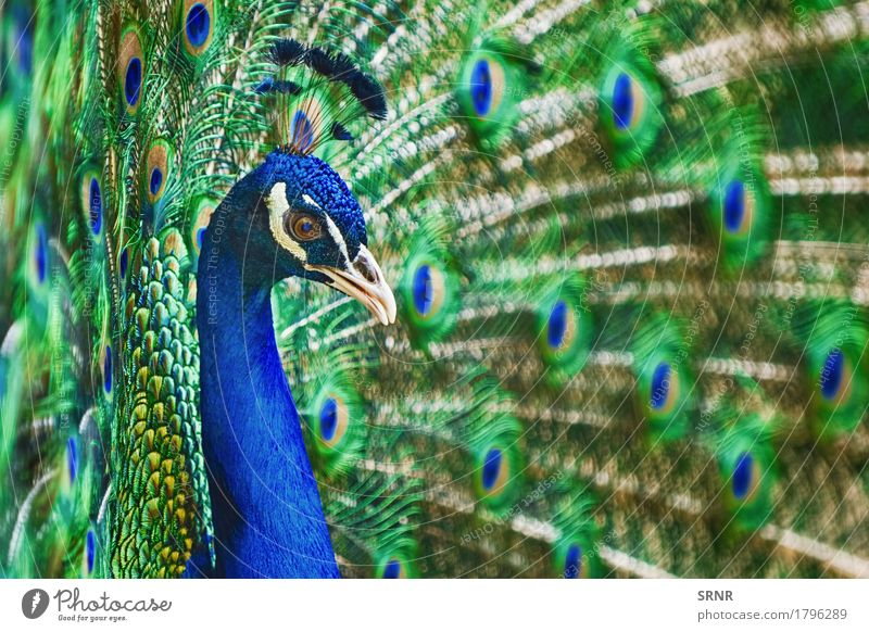 Portrait Of Peacock Animal Bird 1 Beautiful ceremony courtship display courtship ritual covert featheranimal avian avifauna covert feathers extravagant tail