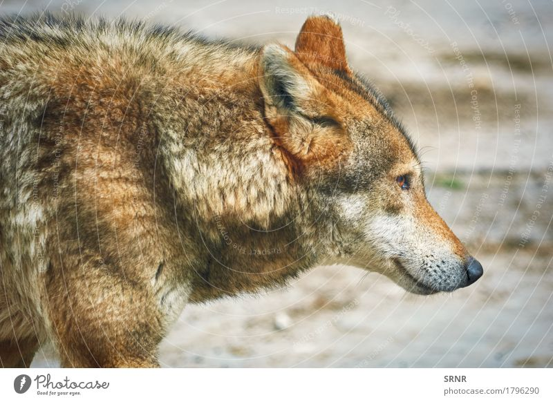Portrait of Wolf Animal Wild Wild animal Mammal Snout Proboscis