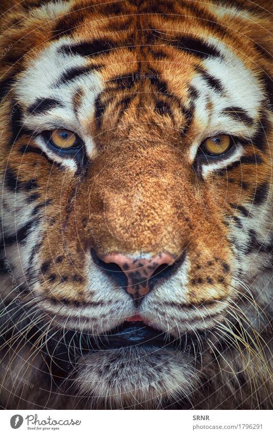 Portrait of Tiger Cat Animal Wild Power Wild animal Vantage point Dangerous Mammal Striped Expression Marvel Carnivore Beast Gaze Big cat
