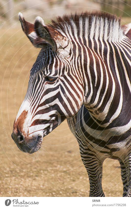 Portrait of Zebra Environment Nature Animal Wild animal Horse Animal face 1 Stripe african african equid Ecological equine equus burchelli Quagga fauna