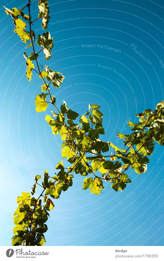 Weinseelig Agriculture Forestry Cloudless sky Agricultural crop Wine growing Vine Vine leaf Tendril Illuminate Esthetic Exceptional Friendliness Positive Warmth